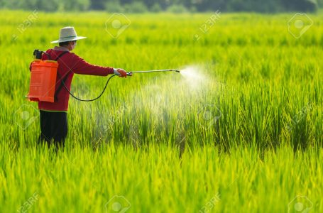 Asian farmer peasantry spraying pesticides in rice fields
