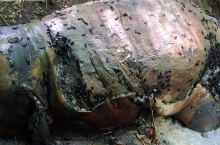 မြန်အောင်သစ်တောကြိုးဝိုင်းအတွင်းမှာ တောဆင်ရိုင်းတစ်ကောင် သတ်ဖြတ်ခံထားရ